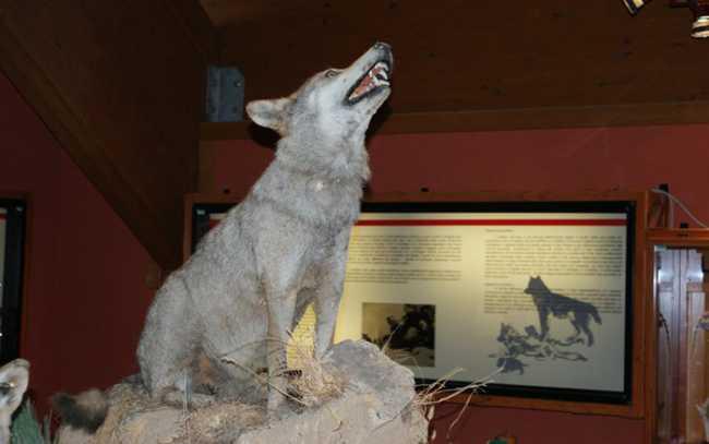 Canis Lupus Meridionalis imbalsamato presso il Museo e centro Visite del Cupone nel Parco Nazionale della Sila. Foto di Francesco Oliverio
